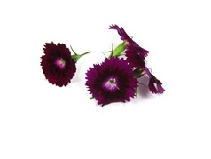 Dianthus Paars